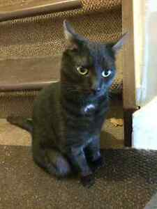 Found Female Cat - Black with White Patch Shorthair