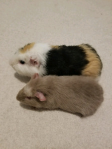 Two male Guinea pigs for sale