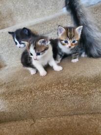 3 x Tabby Kittens