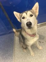SKY female HUSKY for Adoption