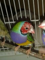 one almost ready to go male gouldian
