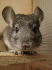 2 wonderful male Chinchilla's looking for furever home