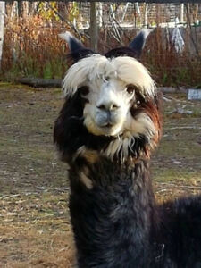 Intact male Alpaca looking for new home.