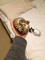 Ball python with everything