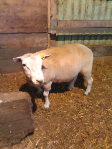 Texel Ram for sale