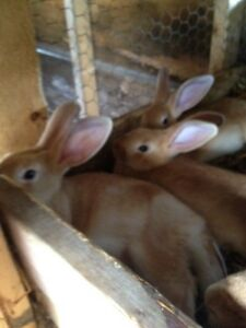 Three baby bunnies for sale