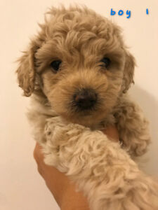 Five adorable toy poodle puppies