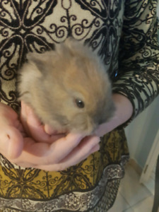 Lionhead baby Rabbits for sale