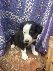 Beautiful male pure bred border collie pups