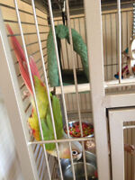 Training help needed with a Beautiful Conure