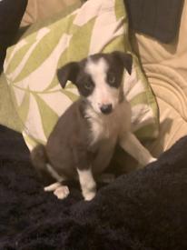 Collie x lab puppies
