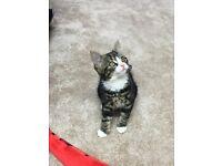 Free Found Kitten