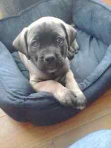 7 Month Old Mastiff Seeking Forever Home!