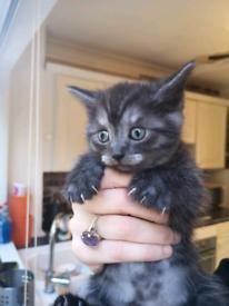 Kittens persian cross