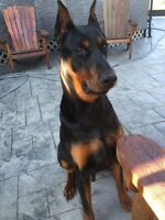 EUROPEAN DOBERMAN PUPPIES ** WAITLIST**