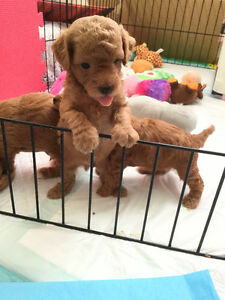 CUTE poodle puppies! 2 boys and 1 girl are still available