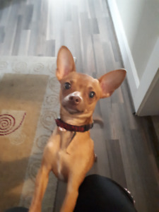 Male Chihuahua Puppy looking for new forever home