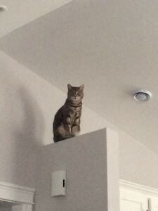 Missing Grey Tabby in Rothesay