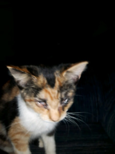"Pretty calico cat 5 months ""patches """