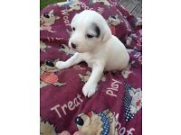 Jack Russell puppies 2 left