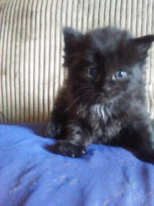Maine Coon kittens for sale 3 weeks old!