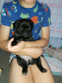 Pug x shihtzu puppies for sale