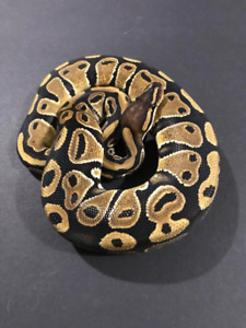 Ball python package