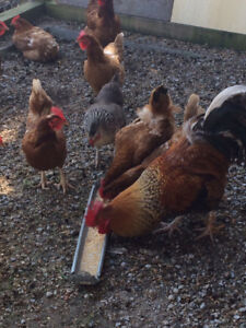 Hens & Rooster for sale