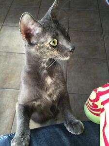 Bobtail cat for adoption. Great with kids