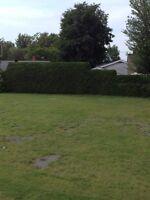 Taillage de haies de cedres et taille d'arbustes