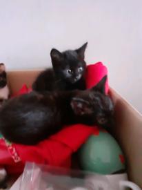 Kittens for sale Nuneaton
