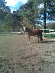 Horse Boarding - Baden! Kitchener / Waterloo Kitchener Area image 2