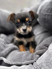 Beautiful chorkie puppies