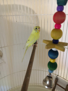 Parakeet for Rehoming - 2 Years Old