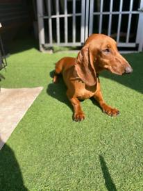 Gorgeous dachshund pedigree boy