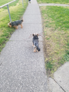 Experienced Dog Walker Available in Moonee Ponds