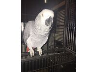African grey parrot 6 years old, really big male