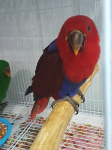 Hand raised super friendly adorable ECLECTUS PARROT BABY FEMALE