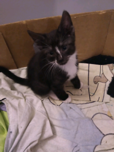 1 X adorable kittens for sale