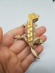 Beautiful 8g Baby Crested Gecko