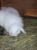 Pure White Fuzzy Lop Male Blue Eyes