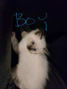Ragdoll kittens 1 boy and 1 girl