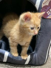 Ginger Kitten for sale . Ready Now.....