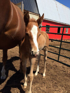 Well Bred Reining Colt
