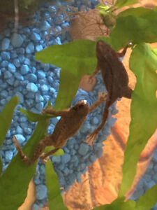 4 african water frogs with accessories free to good home