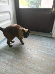 Looking for home for Tonkinese Female Cat Fixed with all shots.