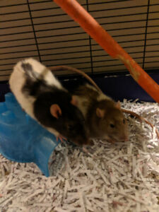 Two male rats