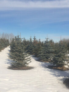 Colorado spruce trees for sale