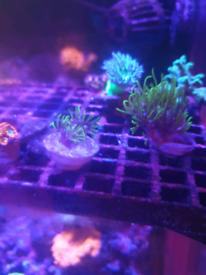 Green Star Polyp (GSP) coral marine