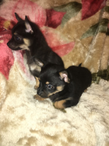 Gorgeous Chihuahua Cross Puppies For Great Homes